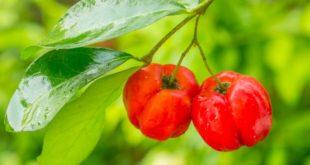 Acerola: Das Vitamin-C-Wunder